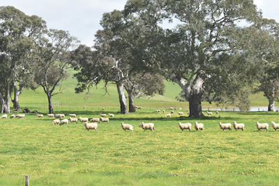 Sheep in pasture -1