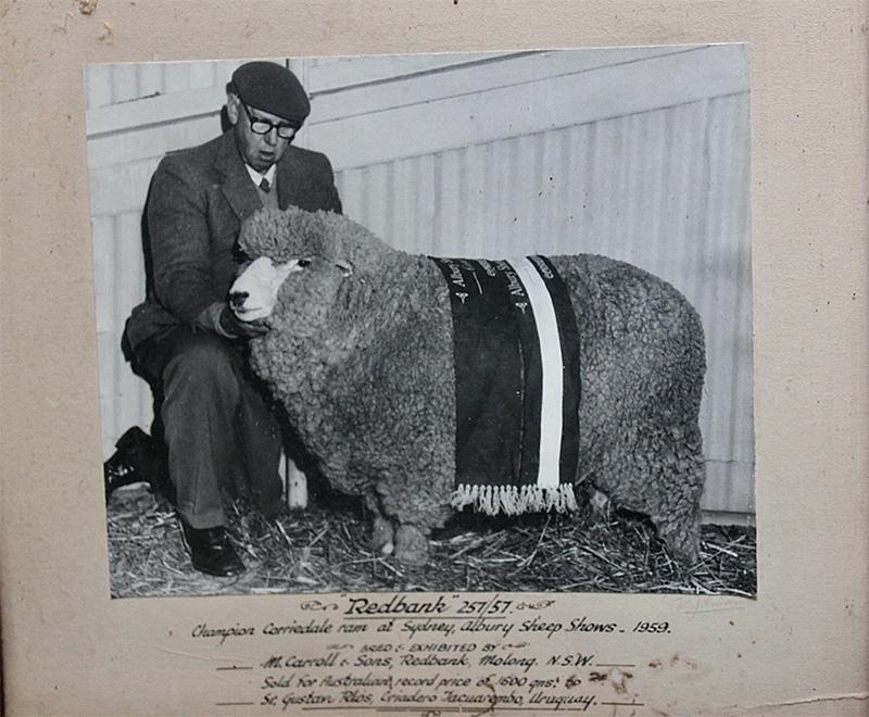 Alf Carroll-with-the-Champion-Redbank-ram