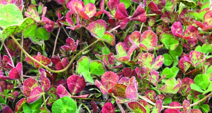 sub-clover-red-leaf-syndrome
