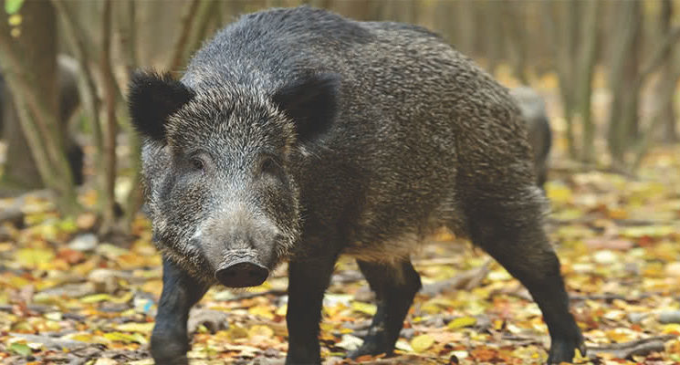feral-pigs