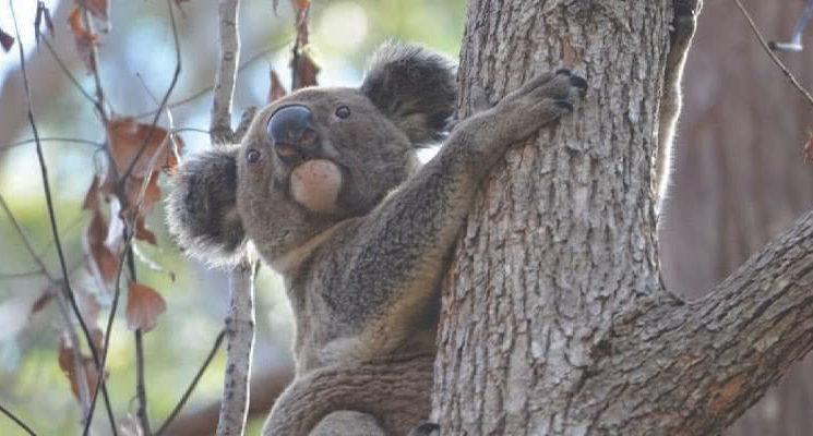 koala-spotted-1